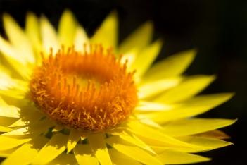 paper-daisy